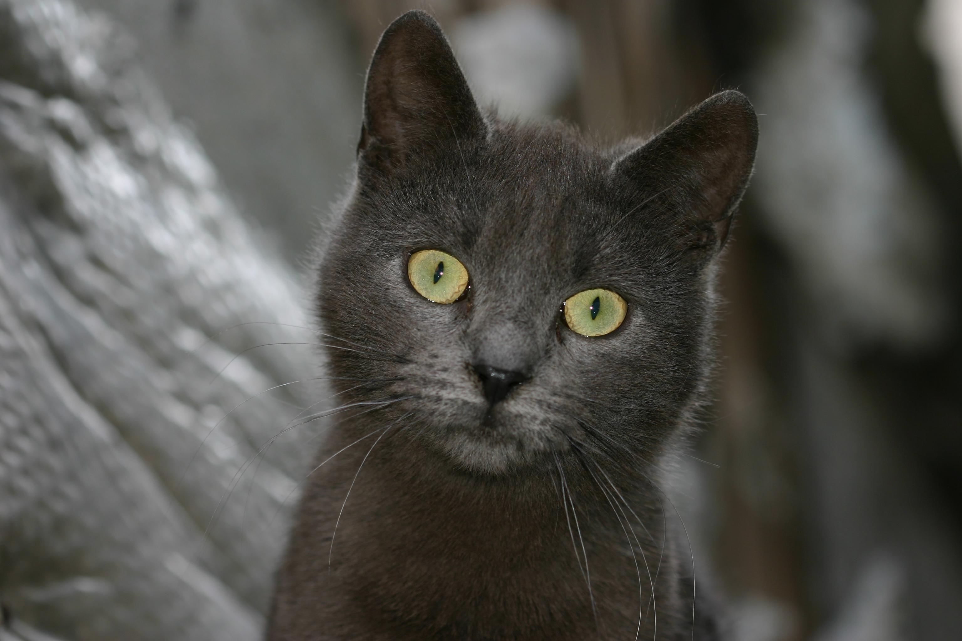 superstitii pisica neagra