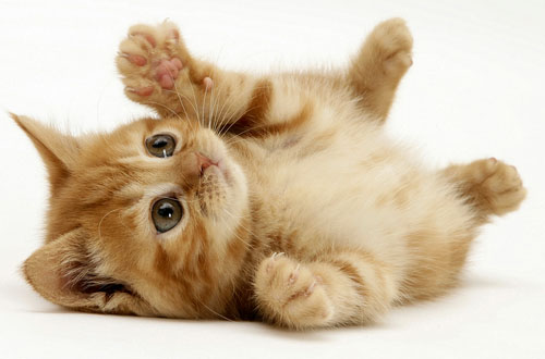 pisica jucausa